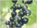 カシスは、目に良いアントシアニンなどが豊富な果実!