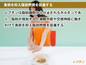 食欲を抑え脂肪燃焼を促進する