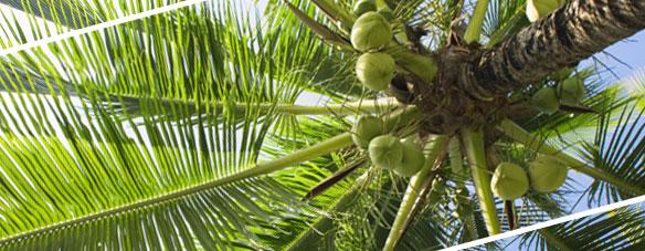 ココナッツ/椰子の木