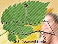 効能豊かな栄養素がたっぷりなハーブ、桑の葉