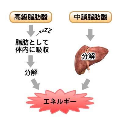 中鎖脂肪酸と高級脂肪酸のエネルギー変換経路解説イラスト