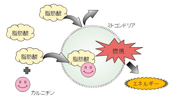 カルニチンの働き概念図