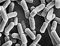 乳酸菌の拡大映像