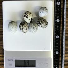 うずらの卵 カロリー